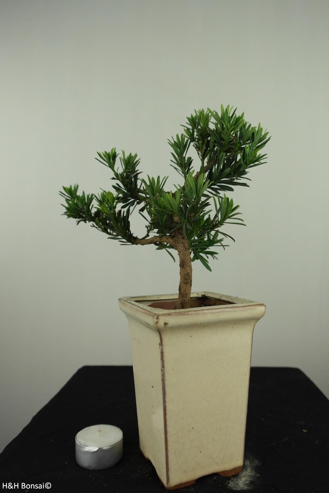 Bonsai Buddhist Pine, Podocarpus, no. 7599