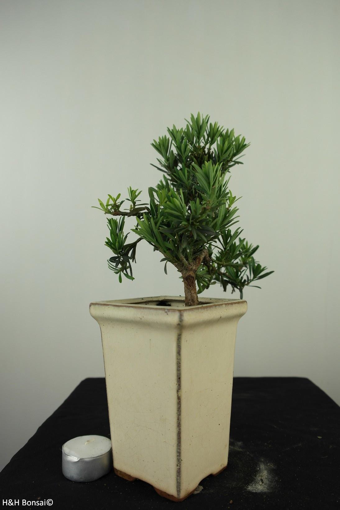 Bonsai Buddhist Pine, Podocarpus, no. 7600