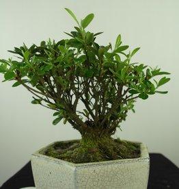 Bonsai Azalée, Azalea Rhododendron indicum, no. 7602