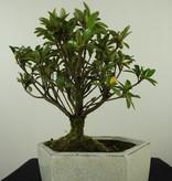 Bonsai Azalea Rhododendron indicum, no. 7603