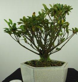 Bonsai Azalée, Azalea Rhododendron indicum, no. 7604