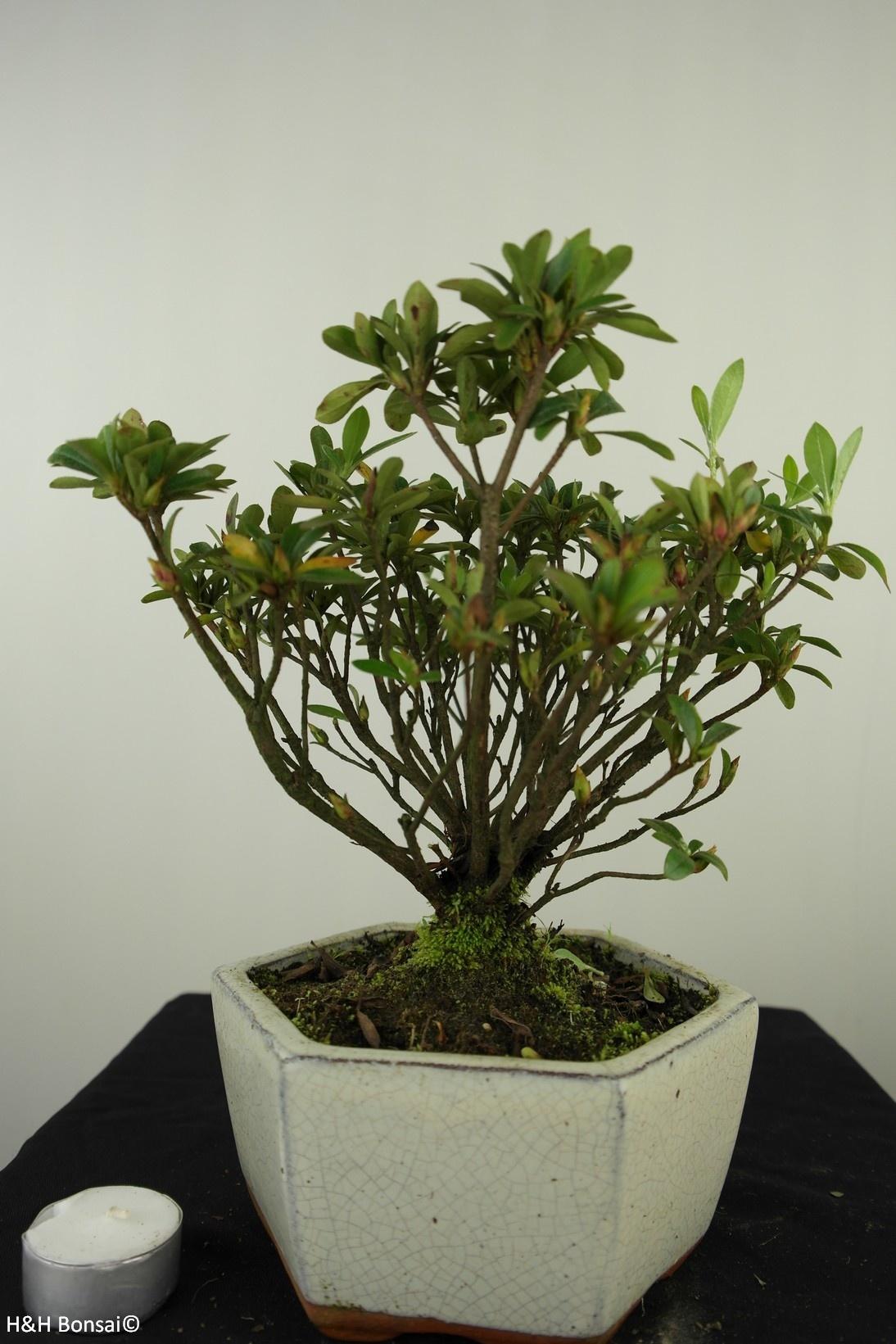 Bonsai Azalea Rhododendron indicum, no. 7604