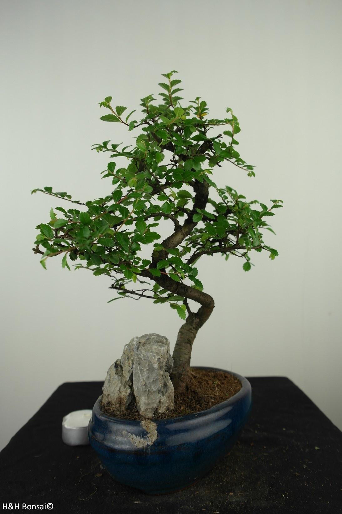 Bonsai Chinese Elm with rock, Ulmus, no. 7615