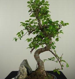 Bonsai Orme de Chine avec roche, Ulmus, no. 7616