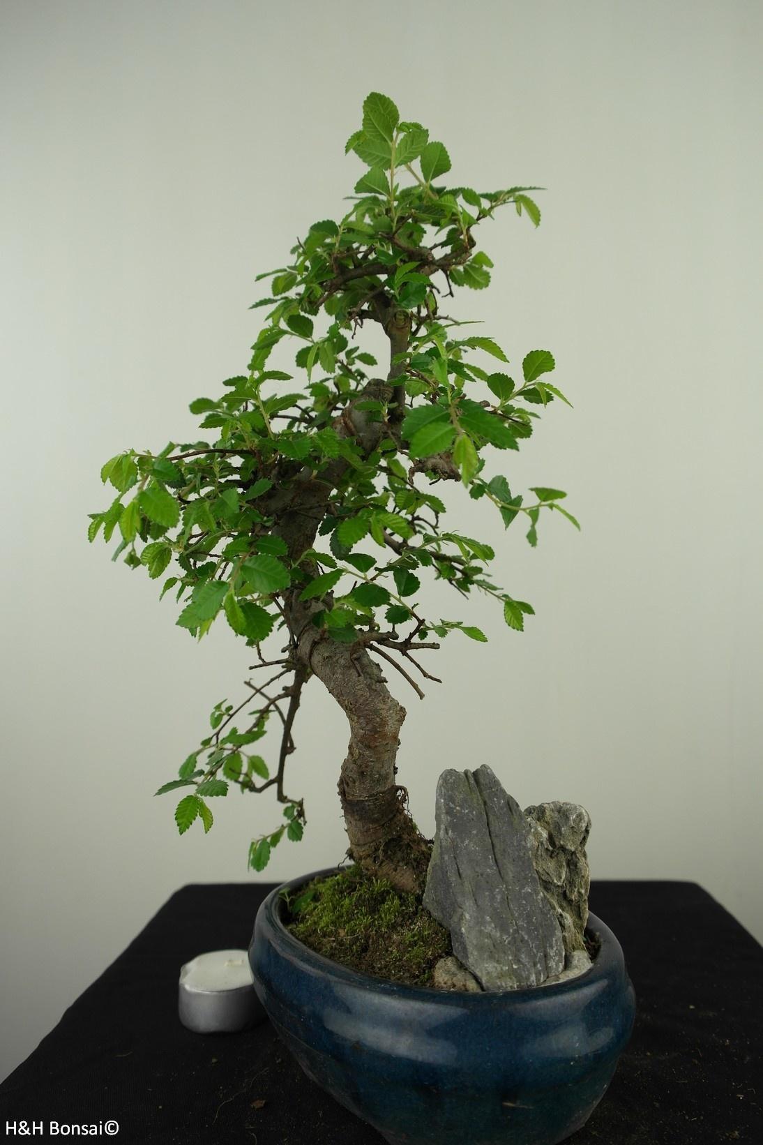 Bonsai Chinese Elm with rock, Ulmus, no. 7616