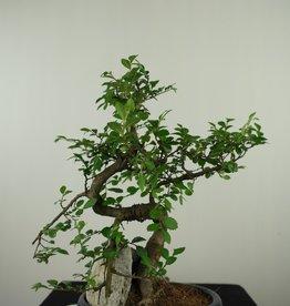 Bonsai Orme de Chine avec roche, Ulmus, no. 7617