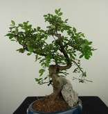 Bonsai Chinese Elm with rock, Ulmus, no. 7617