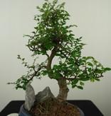 Bonsai Chinese Elm with rock, Ulmus, no. 7618
