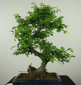 Bonsai Chinese Elm, Ulmus, no. 7620