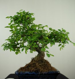 Bonsai Chinese Elm, Ulmus, no. 7622