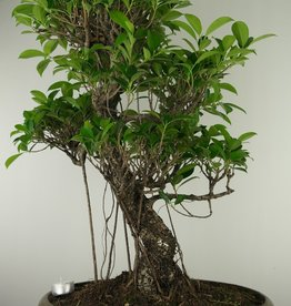 Bonsai Fig Tree, Ficus retusa, no. 7674