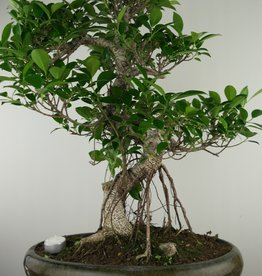 Bonsai Figuier tropical, Ficus retusa, no. 7675