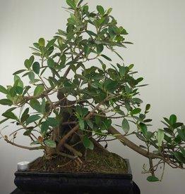 Bonsai Figuier de Chine, Ficus microcarpa panda, no. 7681