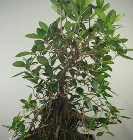 Bonsai Figuier de Chine, Ficus microcarpa panda, no. 7682