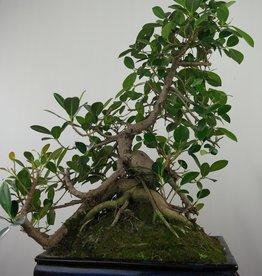 Bonsai Figuier de Chine, Ficus microcarpa panda, no. 7683
