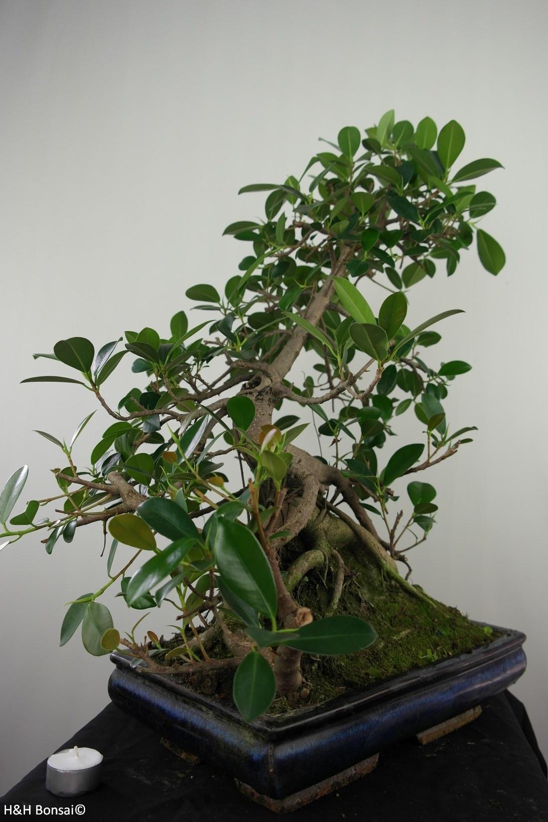 Bonsai Fig Tree, Ficus microcarpa panda, no. 7683