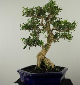 Bonsai Buis,Buxus harlandii, no. 7684