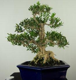 Bonsai Buis,Buxus harlandii, no. 7685