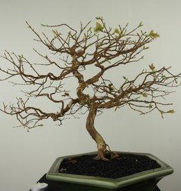 Bonsai Syzygium, no. 7687