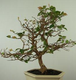 Bonsai Syzygium, no. 7689