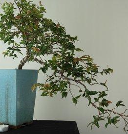 Bonsai Syzygium, no. 7690