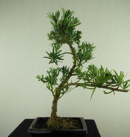 Bonsai Pin des Bouddhistes, Podocarpus, no. 7717
