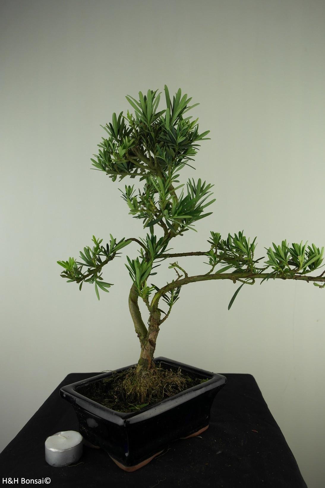 Bonsai Buddhist Pine, Podocarpus, no. 7717