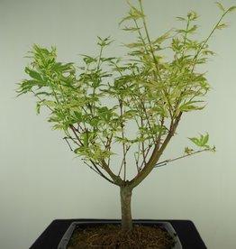 Bonsai Erable du Japon,Acer palmatumBatafurai, Butterfly, no. 7726