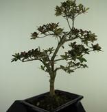Bonsai Azalea Rhododendron indicum, no. 7730