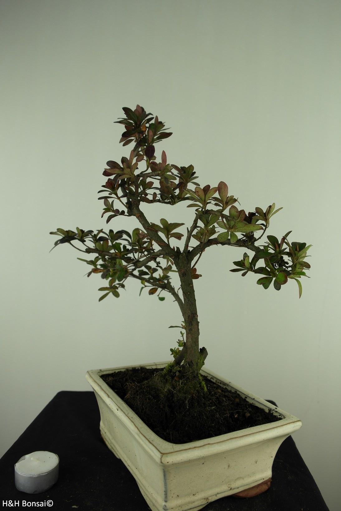 Bonsai Azalea Rhododendron indicum, no. 7732