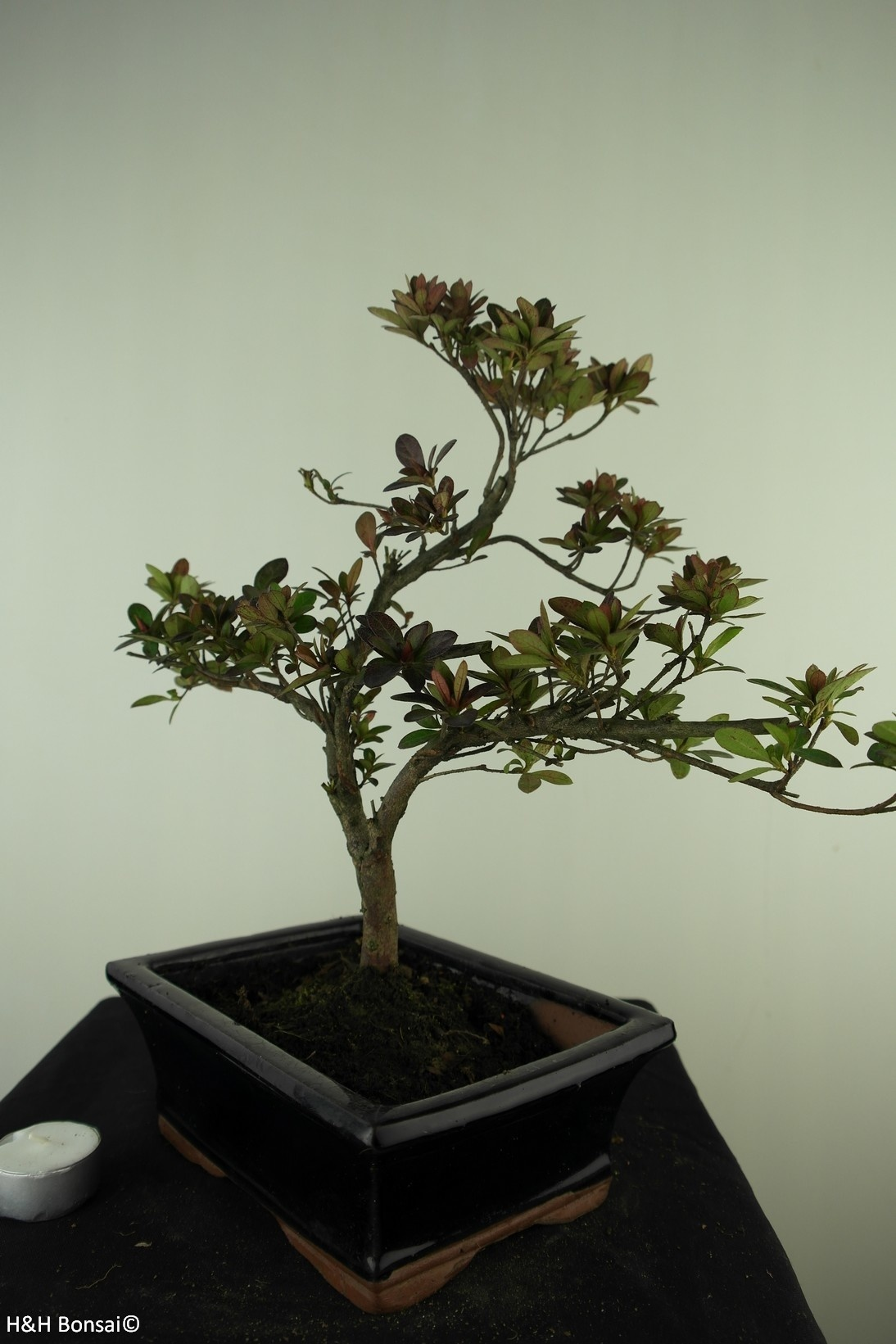 Bonsai Azalea Rhododendron indicum, no. 7733