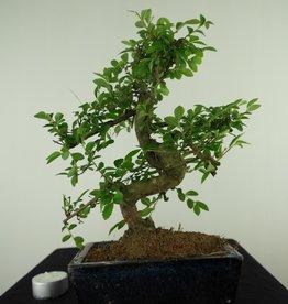 Bonsai Orme de Chine, Ulmus, no. 7735