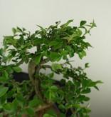 Bonsai Chinese Elm, Ulmus, no. 7735