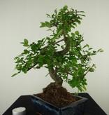 Bonsai Chinese Elm, Ulmus, no. 7737
