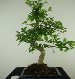 Bonsai Orme de Chine, Ulmus, no. 7739