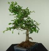 Bonsai Chinese Elm, Ulmus, no. 7740