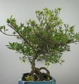 Bonsai Jasmin du Cap, Gardenia jasminoides, no. 7751