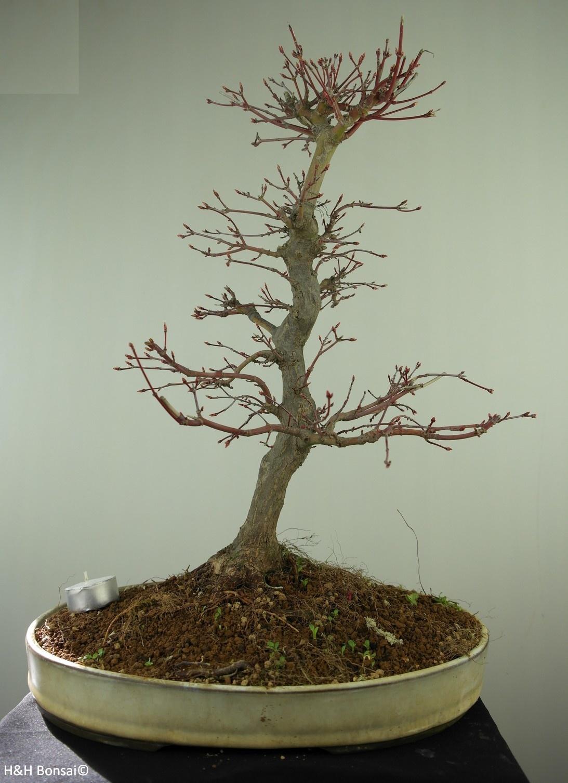Bonsai Japanese Maple, Acer palmatum, no. 7764