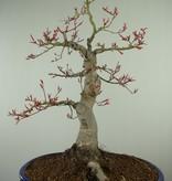 Bonsai Erable du Japon, Acer palmatum, no. 7765