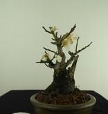 Bonsai Shohin Japanese Apricot, Prunus mume, no. 7780