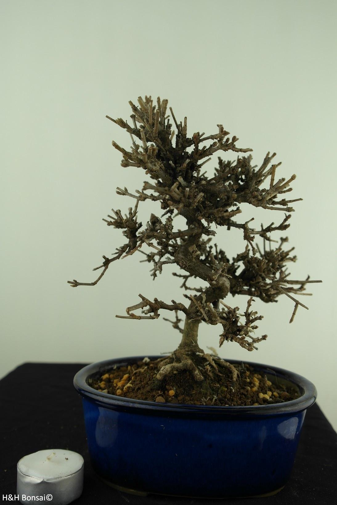 Bonsai Shohin Viburnum, no. 7782