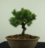 Bonsai Shohin Genévrier rigida, Juniperus regida, no. 7787