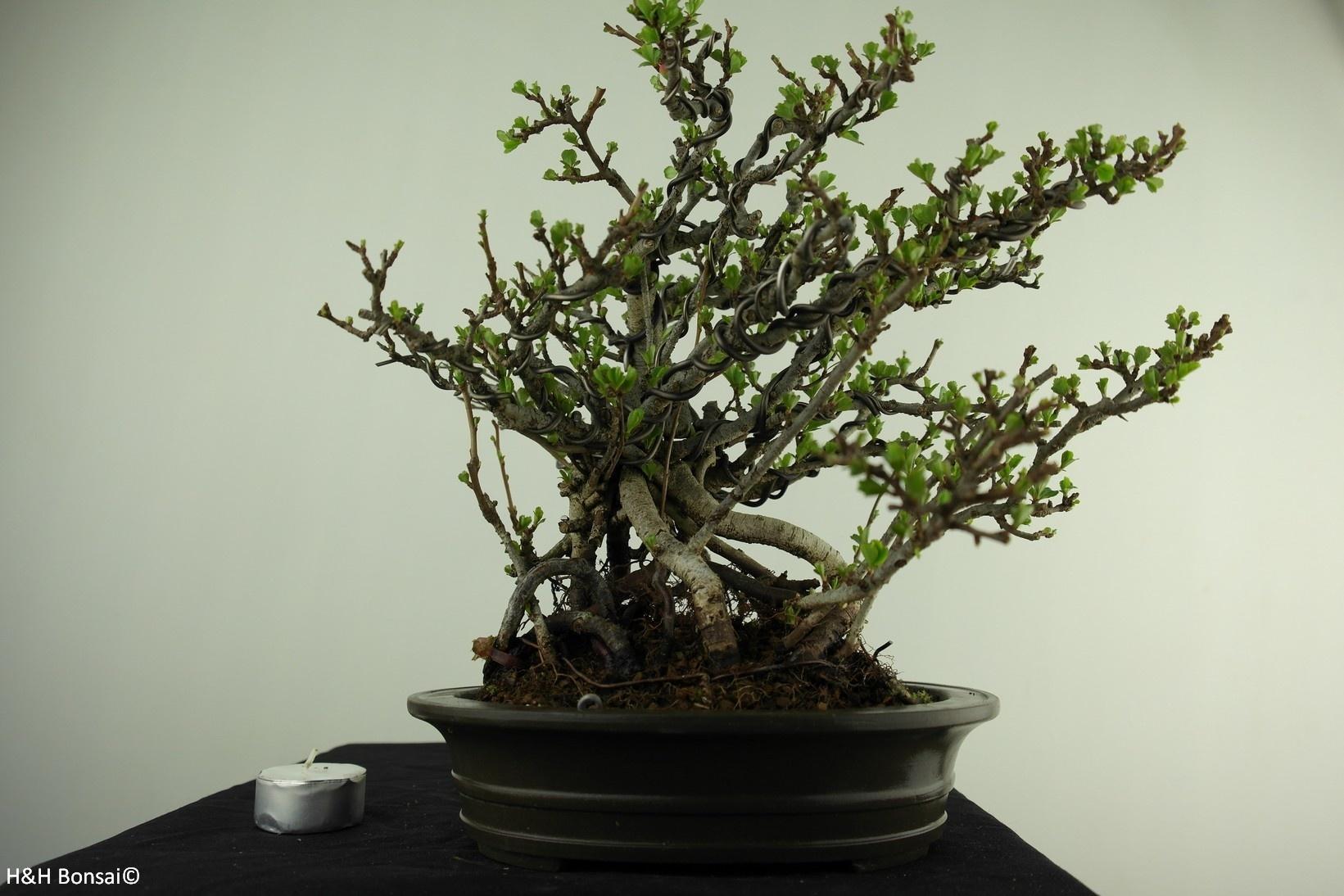 Bonsai Japanese quince, Chaenomeles japonica, no. 7796