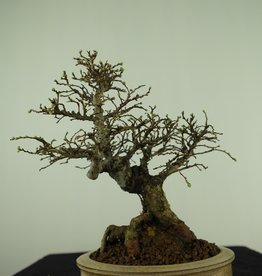 Bonsai Shohin Zelkova nire, no. 7798