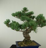 Bonsai Pin blanc du Japon, Pinus pentaphylla, no. 7803