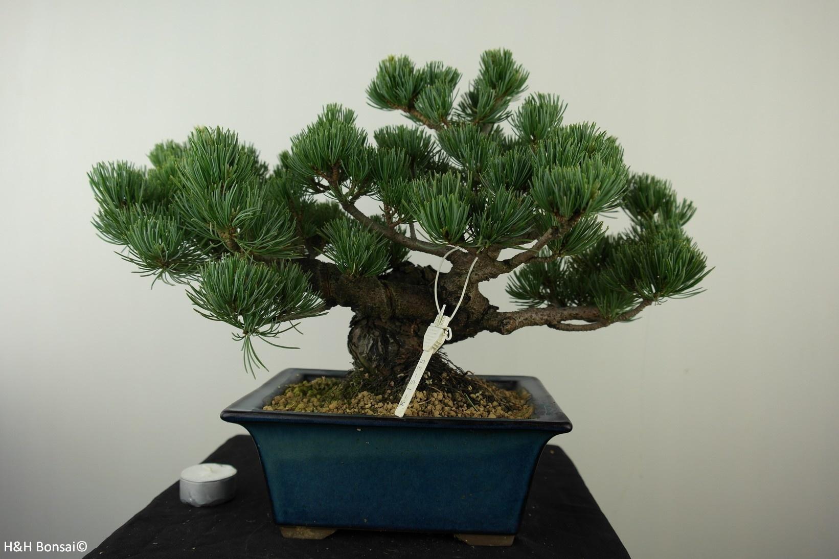 Bonsai Japanese White Pine, Pinus pentaphylla, no. 7804
