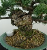 Bonsai Pin blanc du Japon, Pinus pentaphylla, no. 7805
