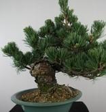 Bonsai Japanese White Pine, Pinus pentaphylla, no. 7805