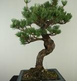 Bonsai Japanese White Pine, Pinus pentaphylla, no. 7809