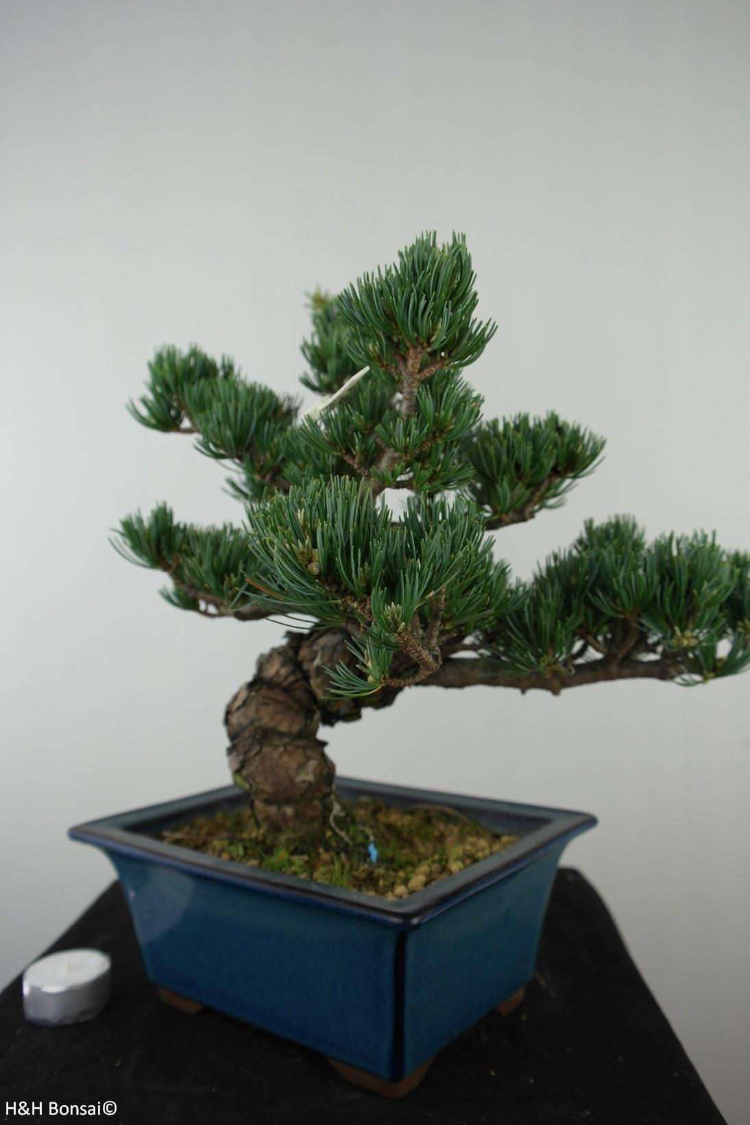 Bonsai Japanese White Pine, Pinus pentaphylla, no. 7811